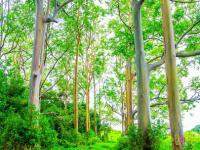 Hana thingtodo: Painted Forest - Rainbow Eucalyptus Trees